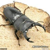 国産オオクワガタ 山梨県韮崎市産 幼虫(初~2令)(3匹)