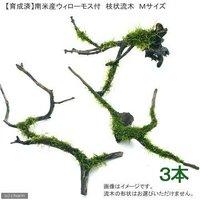 育成済 南米ウィローモス 枝状流木 Mサイズ(約20cm~)(無農薬)(3本)
