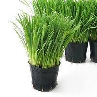 長さで選べる ペットグラス 燕麦(長め) 3号(3ポット) 無農薬