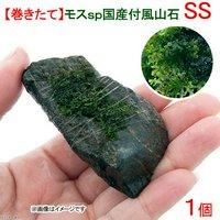 巻きたて モスsp.(国産)付 風山石 SSサイズ(8cm以下)(無農薬)(1個)