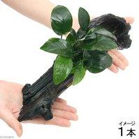 アヌビアスナナ 流木付 Lサイズ(1本)(約25cm)