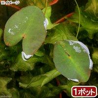 水辺植物 河骨 ベニオグラコウホネ(紅小倉河骨)(1ポット) 浮葉植物