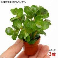 プチ素焼き鉢 ロタラ ロトンディフォリア 福建省(水上葉)(無農薬)(3鉢)