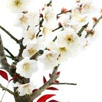寄せ植え盆栽 松竹梅 丸型 Sサイズ 8号(1鉢)