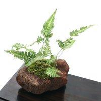 苔盆栽 ハカタシダ(博多羊歯) 溶岩石鉢植え(1鉢)