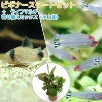 (水草)ビギナースタートセット ラミーノーズテトラ(ブリード)(10匹)+コリドラスパンダ(3匹)