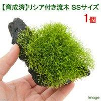 育成済 リシア付き流木 SSサイズ(約10cm)(無農薬)(1本)