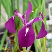 水辺植物 カキツバタ もろこし舟(モロコシフネ)紫花(1ポット) 休眠株
