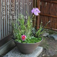 (めだか)豪華ビオトープフルセット(ビオ植物10種+睡蓮鉢(スイレン鉢) 益子焼 彩(SAI)渦潮 焼締)  (休眠株)