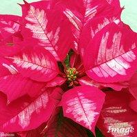 ポインセチア アイスパンチ 5号(1鉢) クリスマスフラワー