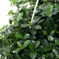 フィカス シャングリラ(つる性ガジュマル) 吊り鉢タイプ 6号(1鉢)
