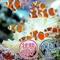 カクレクマノミ(国産ブリード)(2匹)熱帯魚
