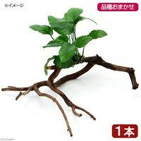 おまかせアヌビアス 枝状流木付 Mサイズ(1本)(20cm~)
