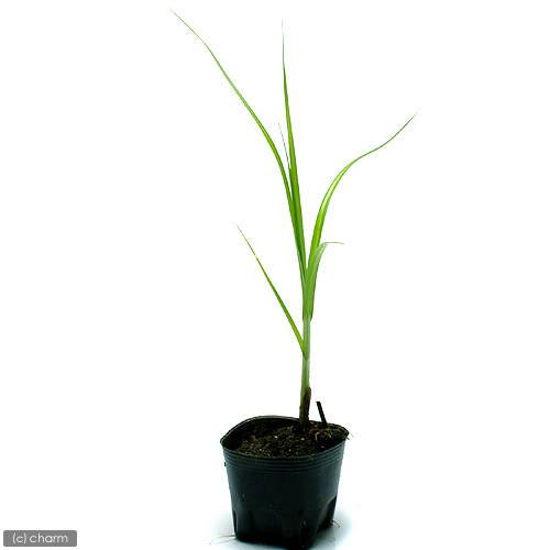 (ビオトープ)水辺植物 ウキヤガラ(1ポット分) (休眠株)