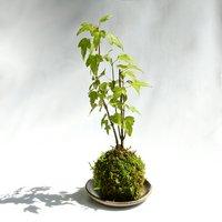 苔玉 品種おまかせ モミジ(紅葉)(1個) 観葉植物 コケ玉(休眠株)