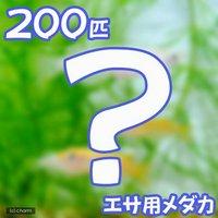 生餌 エサ用メダカ/えさ用めだか(200匹)