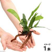 ミクロソリウム プテロプス ブランチアーチ流木付(約15cm~)(1本)