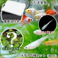 (水草)水辺のなかよし飼育セット メダカ5種とおたま金魚(浮き草 幹之メダカ付き)
