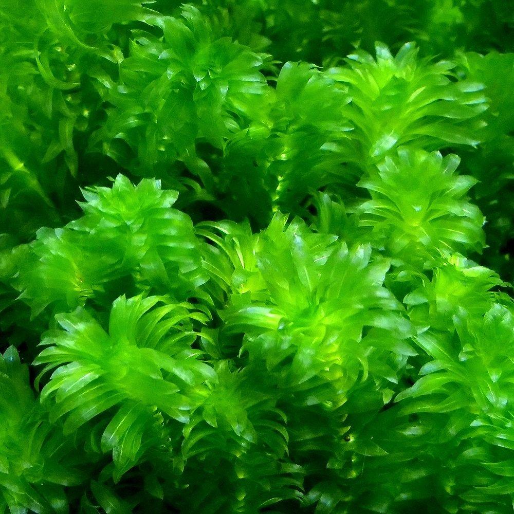 (水草)メダカ・金魚藻 国産 無農薬アナカリス(40本) 北海道航空便要保温
