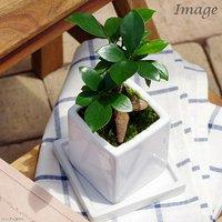 ガジュマル 陶器鉢植え ニューダイスS WH(1鉢) 受け皿付き 北海道冬季発送不可