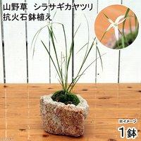苔盆栽 抗火石鉢植え シラサギカヤツリ(1鉢)