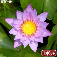 睡蓮 熱帯性睡蓮(スイレン)(淡桃) キー ラルゴ(1ポット) 休眠株