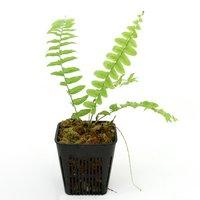 タマシダsp. Irian Jaya Papua産(1ポット)
