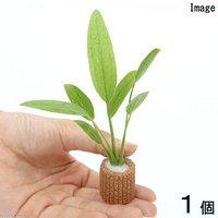 ライフマルチ(茶) おまかせエキノドルス(水上葉)(無農薬)(約15cm)(1個)