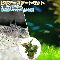 (水草)ビギナースタートセット グリーンネオンテトラ(10匹)+コリドラストリリネアータス(1匹)