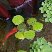 水辺植物 ドワーフフロッグビット(無農薬)(10株)