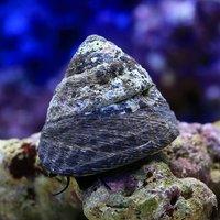 貝 シッタカ貝(バテイラ) Mサイズ コケの掃除(1匹)