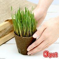 ライ麦 直径8cmECOポット植え(無農薬)(3ポット) 猫草