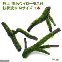 極上 南米ウィローモス付 枝状流木 Mサイズ(約25~30cm)(形状おまかせ)(無農薬)(1本)