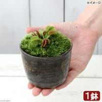苔盆栽 ハエトリソウ 穴有益子焼植木鉢 炭化(1鉢)