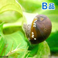 (B品)カバクチカノコ貝(5匹)
