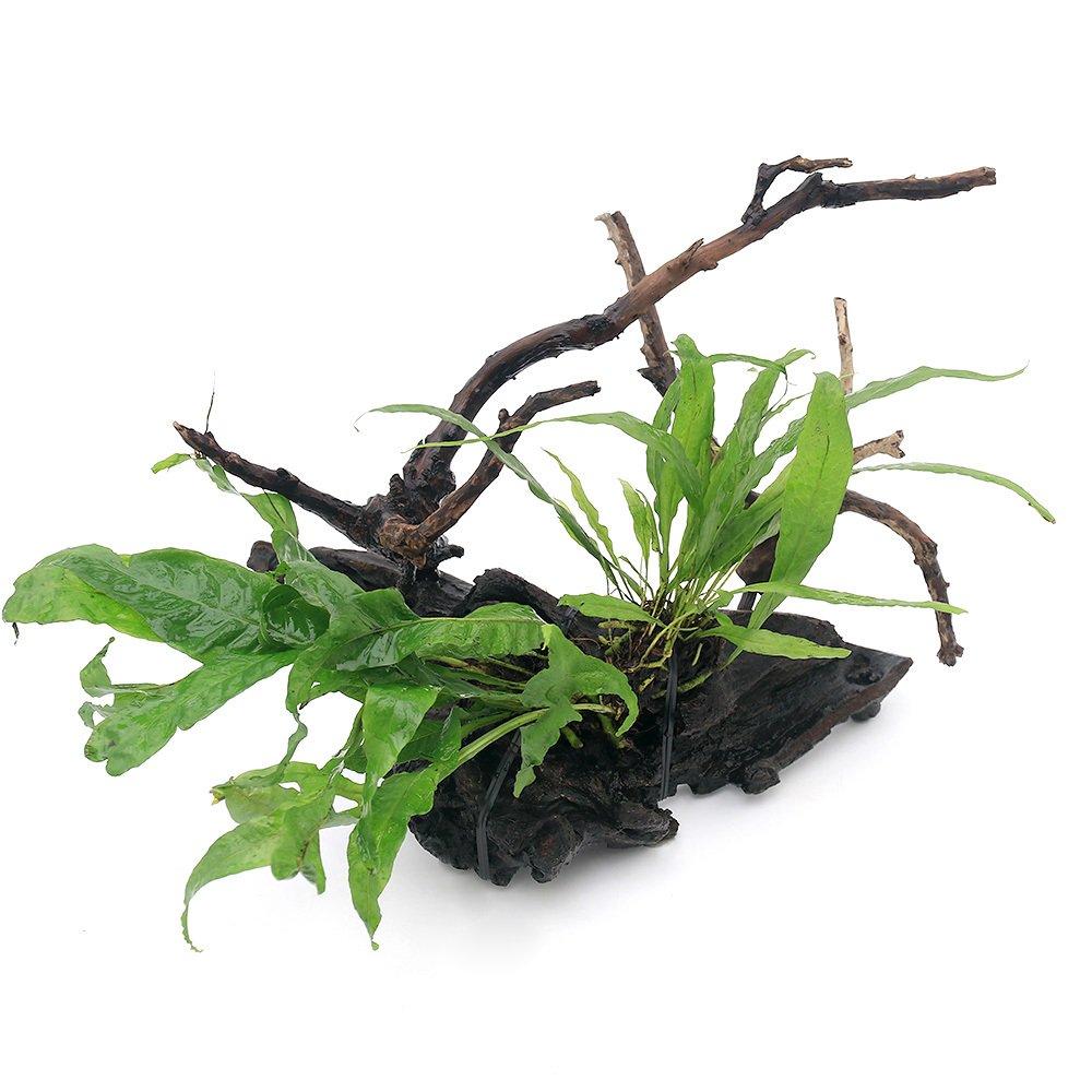 (水草)自在流木 ミクロソリウム2種付 Mサイズ(約20cm)(1本) 北海道航空便要保温