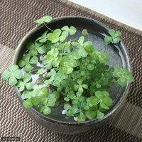 水辺植物  私の小さなアクアリウム ~シャリッと益子 DE 幸せムチカセット(足付深丼 炭化)~  (休眠株)