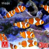 カクレクマノミ Mサイズ(国産ブリード)(3匹)熱帯魚