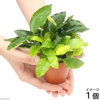 素焼き鉢 寄せ植えミックス Ver.小型アヌビアス ミックス(1個)