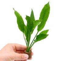 Sサイズ ライフマルチ(茶) アマゾンソード(草丈15~20cm前後)(2個)