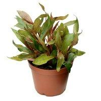 アルテルナンテラ レインキー ロザエフォリア(水上葉) 鉢植え(無農薬)(1鉢)
