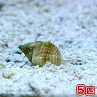 貝 アツムシロガイ 底砂とその他の掃除(5匹)