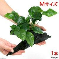 アヌビアス バルテリー ナナ 流木付 Mサイズ(1本)(約20cm)
