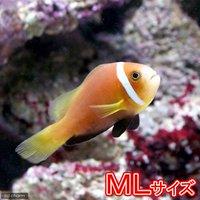 モルディブアネモネフィッシュ MLサイズ(ワイルド)(1匹)