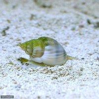 貝 イボヨウバイ 底砂とその他の掃除(1匹)