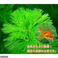 メダカ・金魚藻 エサ用カボンバ(バラ50本)