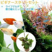 (水草)ビギナースタートセット ネオンテトラ(10匹)+ミックスプラティ(4匹)