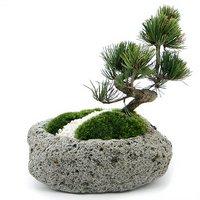 苔盆栽 ゴヨウマツ(五葉松)化粧砂付き~白溶岩石鉢~ Mサイズ(1鉢)