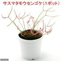 サスマタモウセンゴケ 2.5~3号(1ポット)
