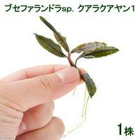 ブセファランドラsp.クアラクアヤン1(無農薬)(水中葉)(1株)